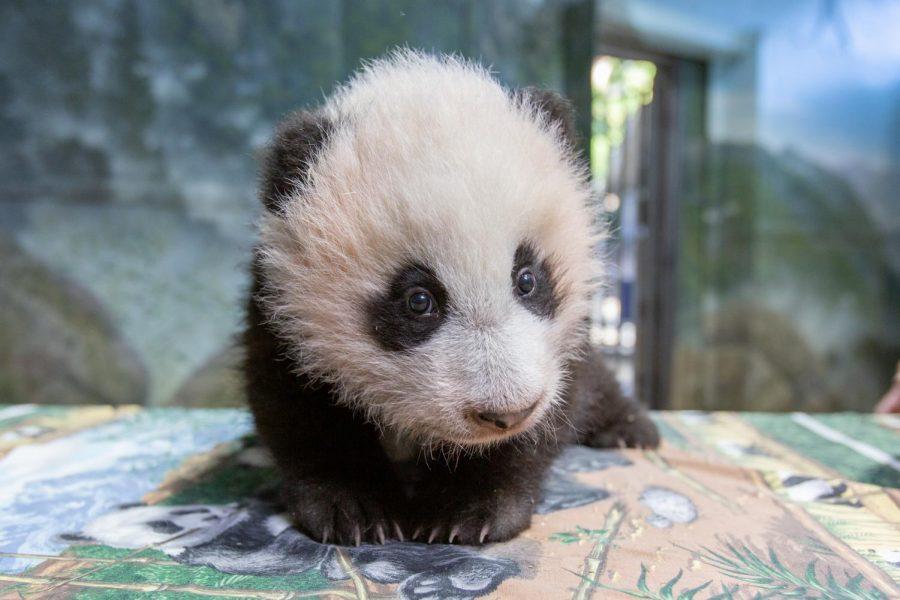 Xiao Qi Ji at 3.5 months old.