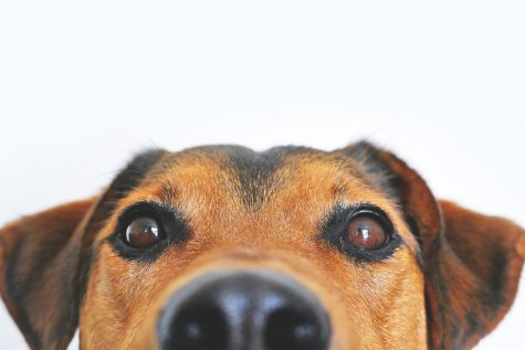 Dogs Sniff Out Coronavirus