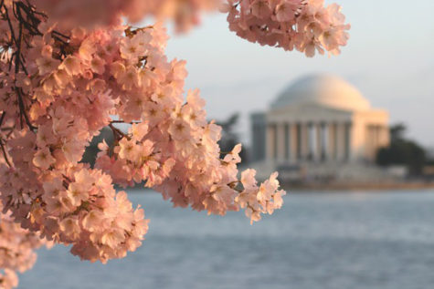 The cherry blossoms peaked on March 28 this year as the National Cherry Blossom festival worked to make the blooms safe to enjoy.