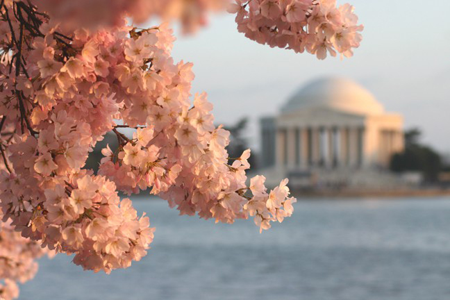 The+cherry+blossoms+peaked+on+March+28+this+year+as+the+National+Cherry+Blossom+festival+worked+to+make+the+blooms+safe+to+enjoy.%0A